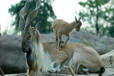 The markhor -- a majestic wild