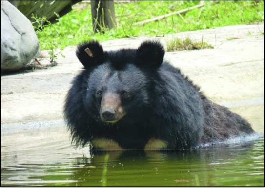 Rescued moon bear at the Animals Asia Foundation sanctuary in China (Photo: Kim Bartlett)