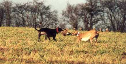 Two greyhounds with a hare (Photo: League Against Cruel Sports)