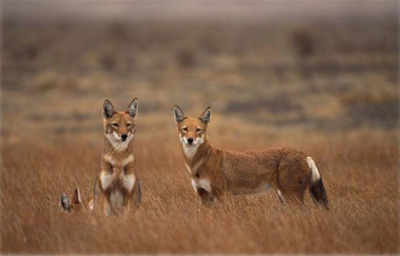 Ethiopian wolves. (Photo: ©A.L. Harrington)
