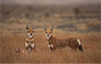 Ethiopian wolves. (Photo: ©A.L. Harrington)