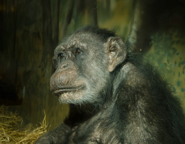 Coco, photographed early this year. (Photo: MICHAEL DURHAM/Oregon Zoo)
