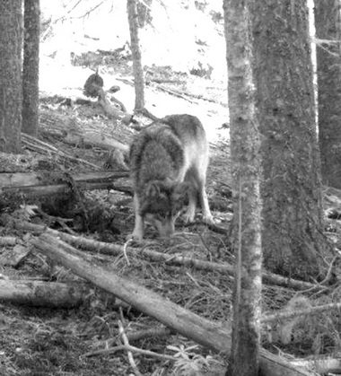 Nov. 14, 2011, photo from a trail camera shows OR-7 on public land east of Butte Falls in Oregon's Jackson County.