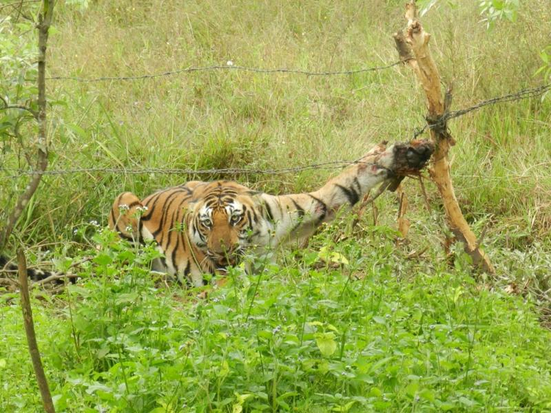 Tigress caught in barbed wire fence. (Photo: Karnataka Forest Department)