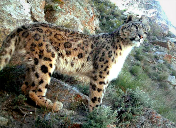 Biologists have discovered a surprisingly healthy population of rare snow leopards living in the mountainous reaches of northeastern Afghanistan's Wakhan Corridor. (Photo: Wildlife Conservation Society)