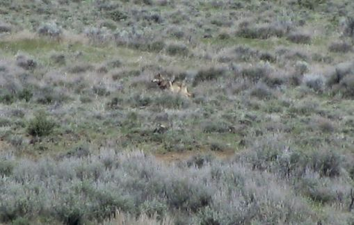 California state biologist Richard Shinn snapped a photograph of OR-7 on May 8, after spotting him on a sagebrush hillside 100 yards away in southwestern Modoc County. Shinn was among a group of biologists, game wardens and a federal trapper who were there to talk to local ranchers about the prospect of having a wolf in their midst.