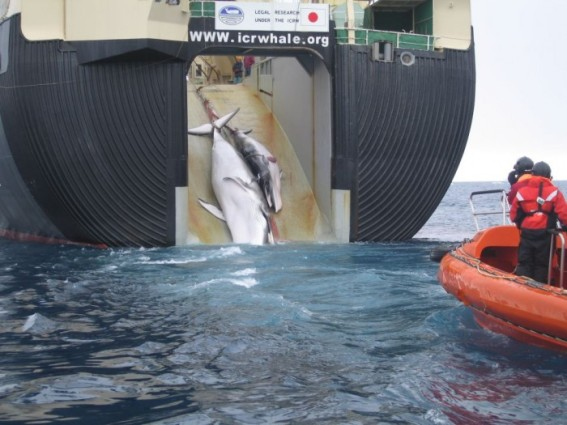 A whale and calf being loaded aboard a factory ship, the Nisshin Maru. (Photo: Customs and Border Protection Service, Commonwealth of Australia)