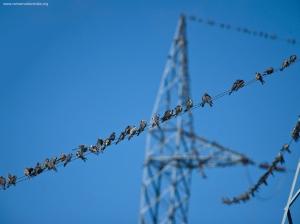 Amur Falcons 5jpg