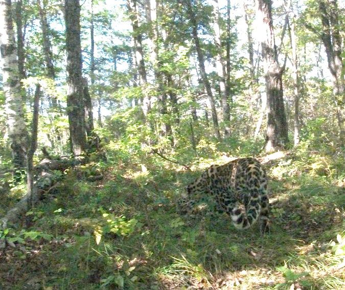 First camera trap photo of an Amur leopard in China. (Photo: WWF-China and the Jilin Forestry Department)