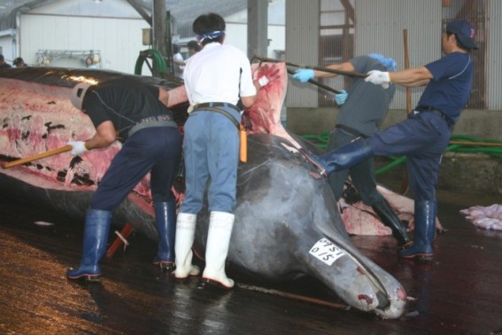 Baird's Beaked Whale being processed in Japan (Photo: EIA)