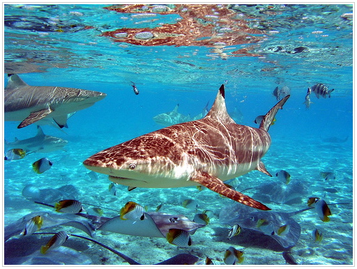 Blacktip Shark, Bora Bora, French Polynesia.