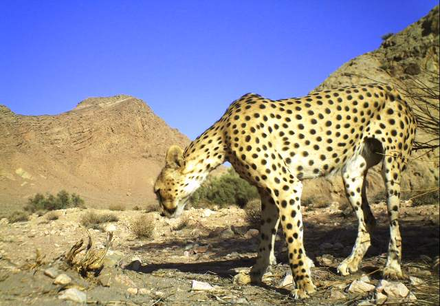 Asiatic cheetah in Ariz No Hunting Area, central Iran, summer 2012 (Photo: Iranian Cheetah Society/YazdDoE/CACP/Panthera)