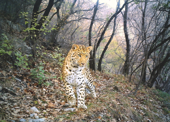 A young male leopard (Panthera pardus) in China's Shuishui River Reserve is this year's contest winner. (Photo: Zhou Zhefeng/BBC Wildlife Magazine)