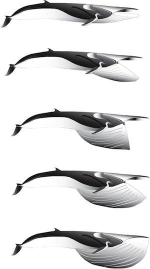 Fin whale lunge diagram, Nick Pyenson.