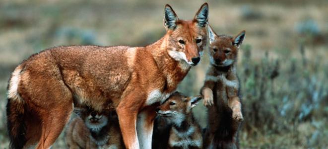 Ethiopian wolves. (Photo: International Wolf Center, M.Harvey)