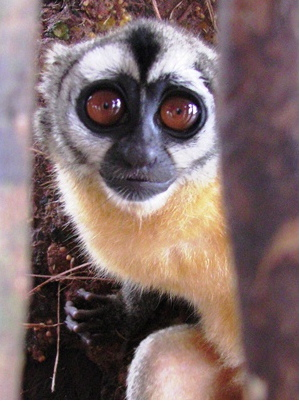 "An IPPL-supported campaign by Fundacion Entropika resulted in a ban on the Colombian night monkey trade this summer. (see ANIMAL POST ""Night Monkeys"" August 28)"
