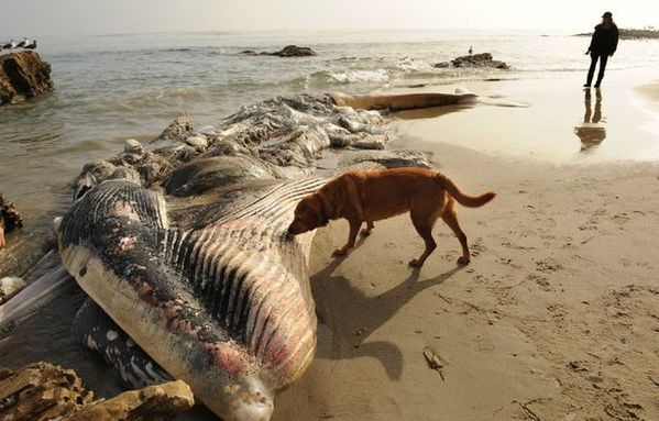 A whale carcass on Malibu's Little Dume beach. The whale had injuries consistent with being struck by a ship. (Photo: Wally Skalij/LATimes)