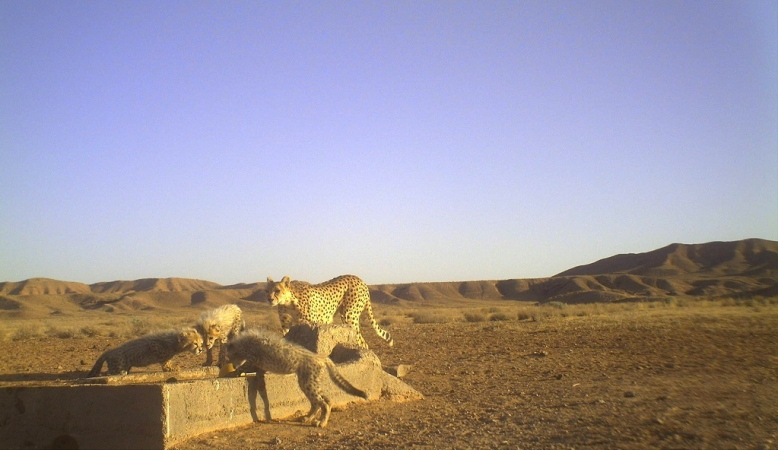 Asiatic Cheetahs in Iran (Photo: Iranian Cheetah Society)