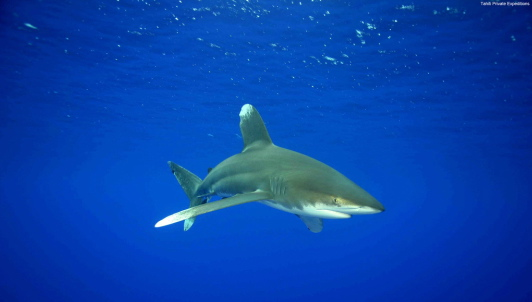 Oceanic whitetip (Photo: Tahiti Private Expeditions)