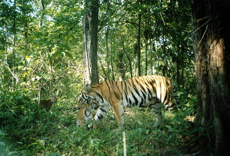 Camera trap captures a tigress moving her cubs in Huai Kha Khaeng. (Photo: Wildlife Conservation Society)