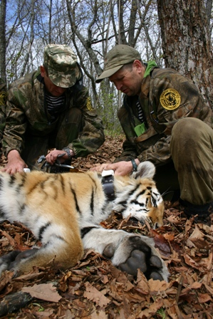 Siberian Tiger Project staff at work during a capture (Photo: John Goodrich, Wildlife Conservation Society)