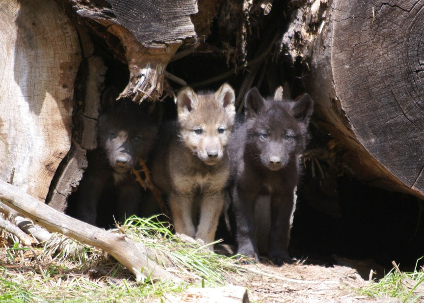 Wolf pups. Wenaha Pack, May 30, 2012. (Photo: ODFW)