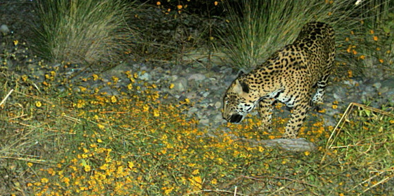 Jaguar in Sonora State in Mexico. (Photo: Earth Island Institute)