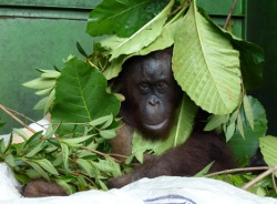 Stressed in captivity, Pelangsi tries to hide under the foliage in his cage whenever the vets approach him.