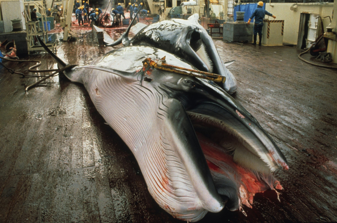Whale processing in Ulsan, South Korea. (Photo: Greenpeace)