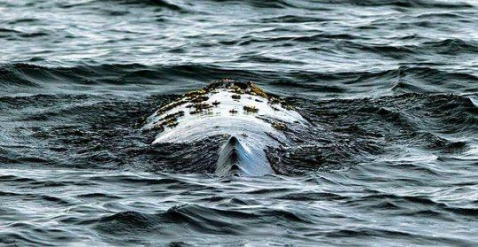 Gray whale swims near the Port of Long Beach, California. (Photo: Gina Ferazzi / LA Times)