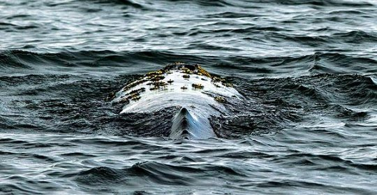 Gray whale swims near the Port of Long Beach, California. (Photo: Gina Ferazzi / LA Times)