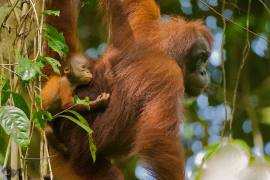 Bornean orangutan (Photo: Sabah Wildlife Department/Danau Girang Field Centre)