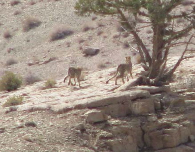 In early November 2008, Ebrahim Gholamrezapoor & Asghar Khajeie, encountered a family of 3 cheetahs in Orsestan valley of Bafq and took a few photographs.