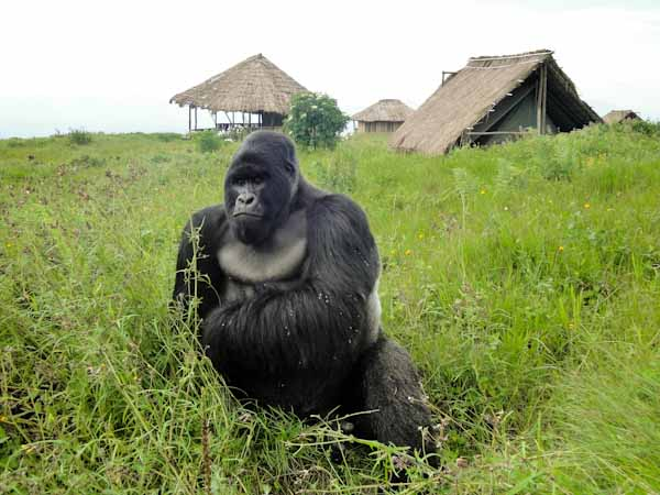 Silverback of the Rugendo Family. (Photo: Innocent Mburanumwe)