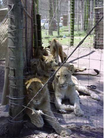 South Africa. Raised for canned hunting.