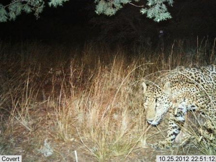 Male jaguar taken 8:25:12. (Photo: USFWS)