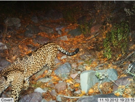 Male jaguar taken 11:10:12. (Photo: USFWS)