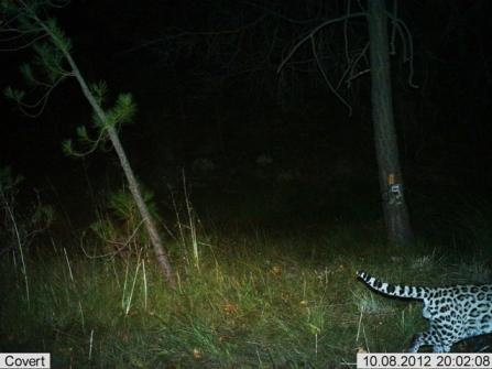 Male ocelot taken 10:8:12. (Photo: USFWS)