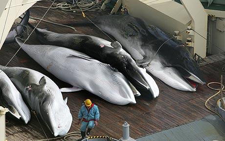 Japanese Whaling catch.