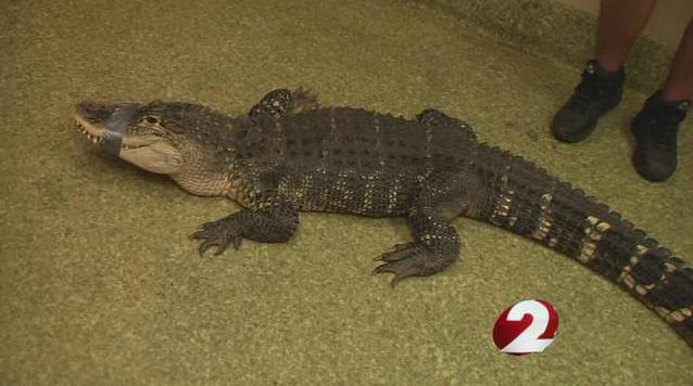 Ohio basement gator1
