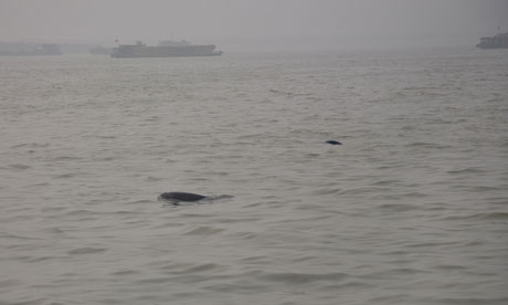 inless porpoise are seen on the busy Dongting Lake in Hunan province, China
