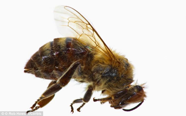 Falling behind. A dying honeybee who may have been inflicted with foulbrood disease which is killing bees in the US in Europe. 10 million bee hives have disappeared from the world in the last 6 years. EU member states have imposed a ban on classes of pesticides which are linked to massive bee die-offs.