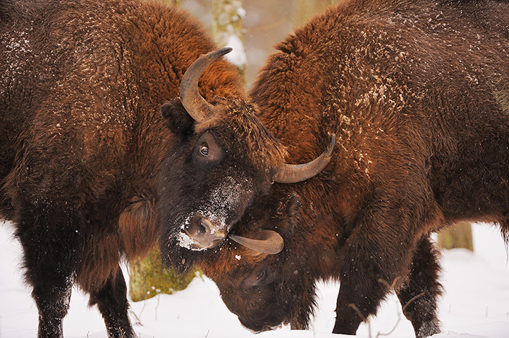 Rebound. European bison (Bison bonasus), Bialowieza forest, Poland. (Photo: Stefano Unterthiner/Wild Wonders of Europe)
