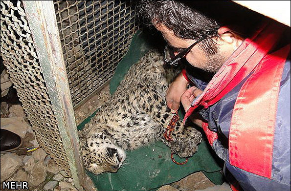 Leopard cub saved (Dec. 2013) after being trapped in well in sw Iranian city of Khorramabad. (Photo: MEHR News Agency)