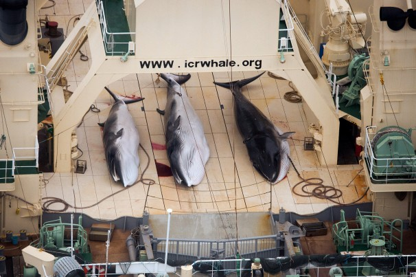 Three dead minke whales on the deck of the Japanese whaling vessel Nisshin Maru, in the Southern Ocean. (Photo: Sea Shepherd Australia)