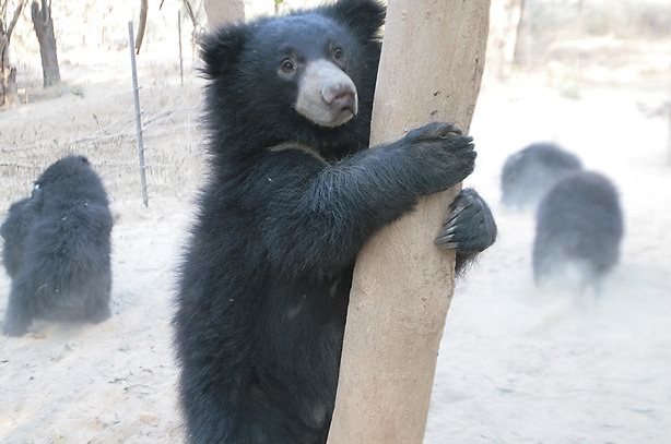 130 bears at Flower World Farm freed by Animals Asia.