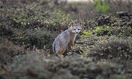 Channel island fox. (Photo: George HH Huey)