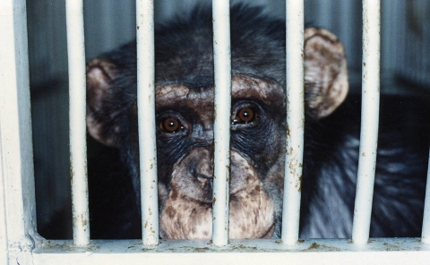 Buckshire chimps in lab cages.