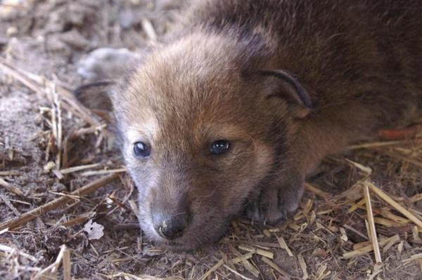 One of four red wolf pups were recently born at the Green Bay, Wisconsin NEW Zoo.