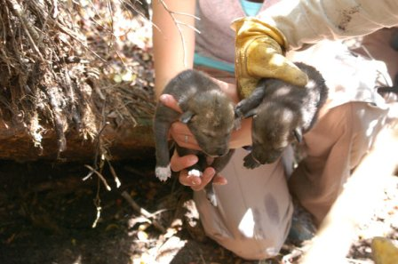Red wolf pups born at the Chicago zoo are introduced into the wild. (Photo: US Forest Service)